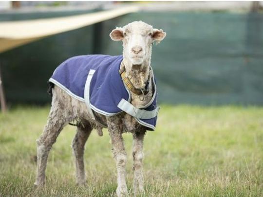Australian Sheep Baarack Freed From Wool Weighing 78 Pounds Picture Goes  Viral: ऑस्ट्रेलिया में जंगली भेड़ बनी 'ऊन का गोला', पकड़ा तो निकला 35 किलो  ऊन - Navbharat Times