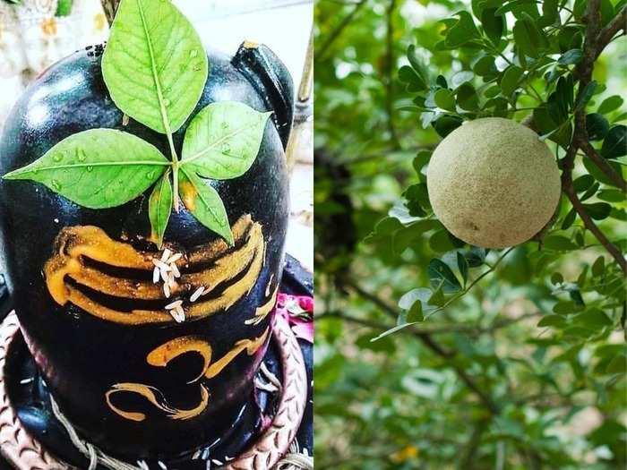 maha shivaratri 2021 vrat bel patra and its fruit health benefits offered to shiv ji controls diabetes blood pressure