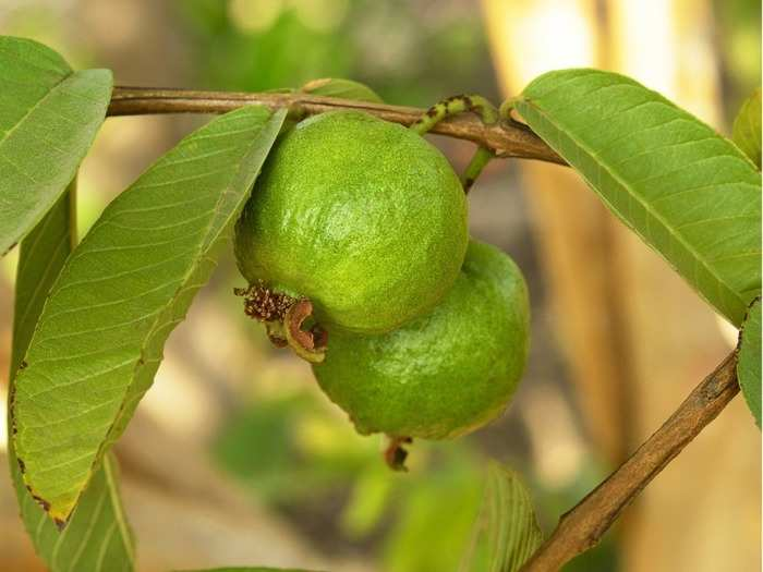 guava or amrud roots can help fight diabetes research