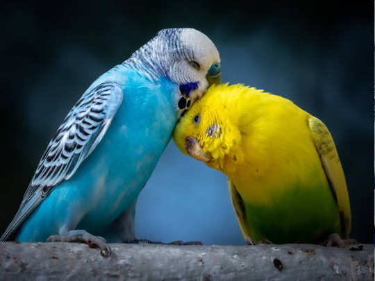 प्रेमसंबंधात जोडीदार एकनिष्ठ रहावा याकरीता हे लव्ह बर्ड्सचे उपाय