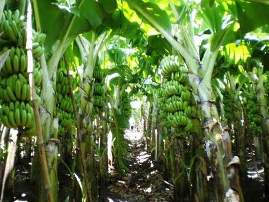 कोविड सेंटरमधून गायब वृध्दा अखेर सापडली केळीच्या बागांमध्ये (संग्रहित छायाचित्र)