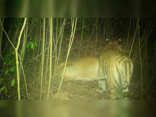 सिंधुदुर्गाच्या जंगलात वाघाचा संचार (फोटो साभार- डॉ. क्लेमेंट व्ही. बेन, कोल्हापूर)