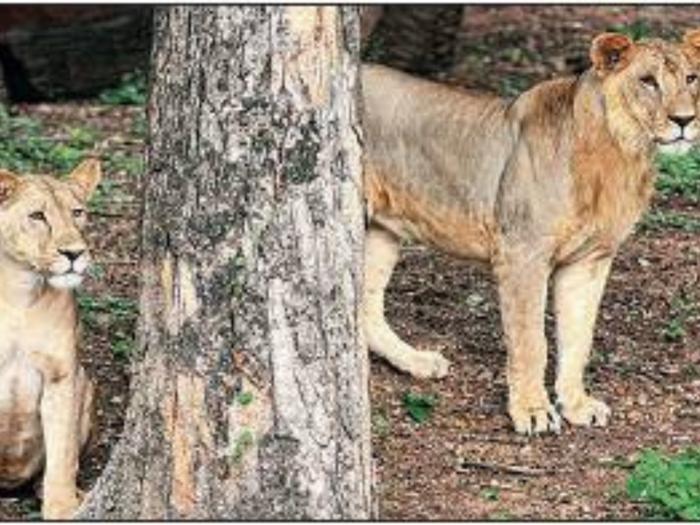 lions corona positive