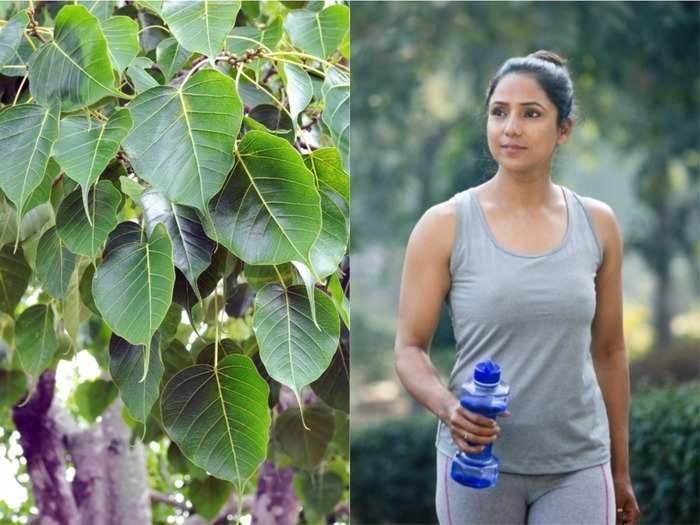 does peepal leaf actually help to boost oxygen saturation level of covid patients know the benefits of pipal tree