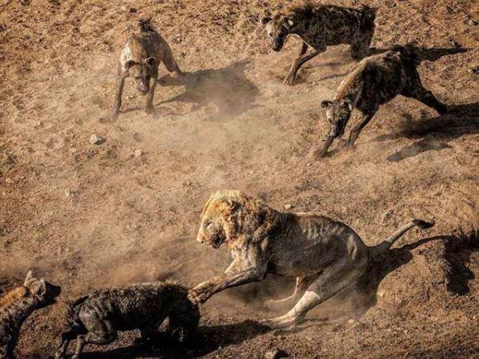 lion taking on hyenas