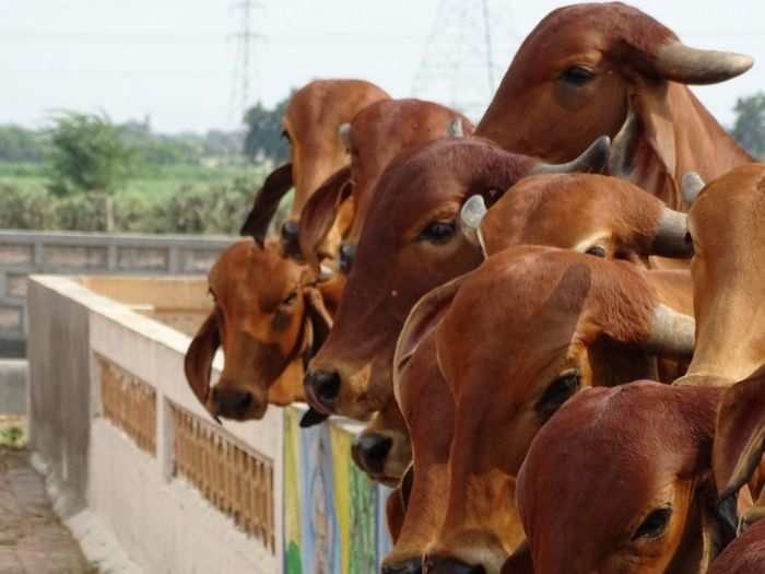 can cow dung and urine cure coronavirus or boost immunity know what doctors advice