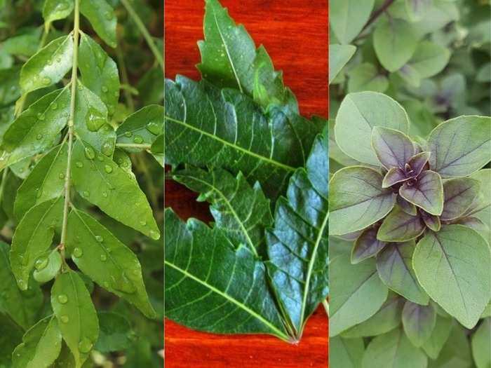 consume neem curry and tulsi to control diabetes and hypertension know when and how to eat