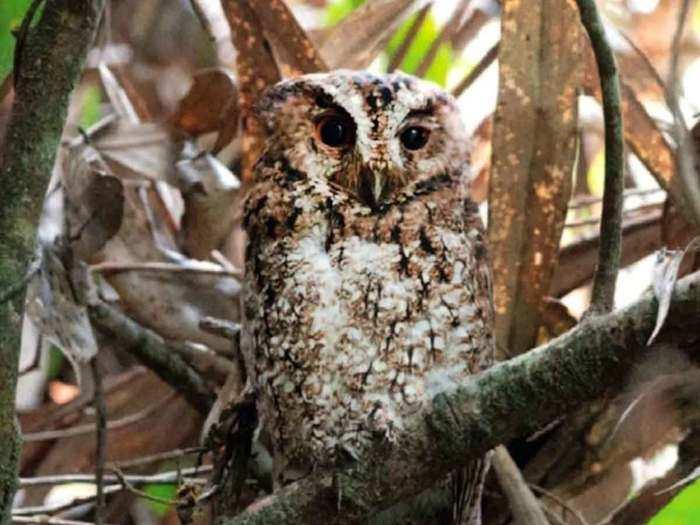 Rajah scops owl
