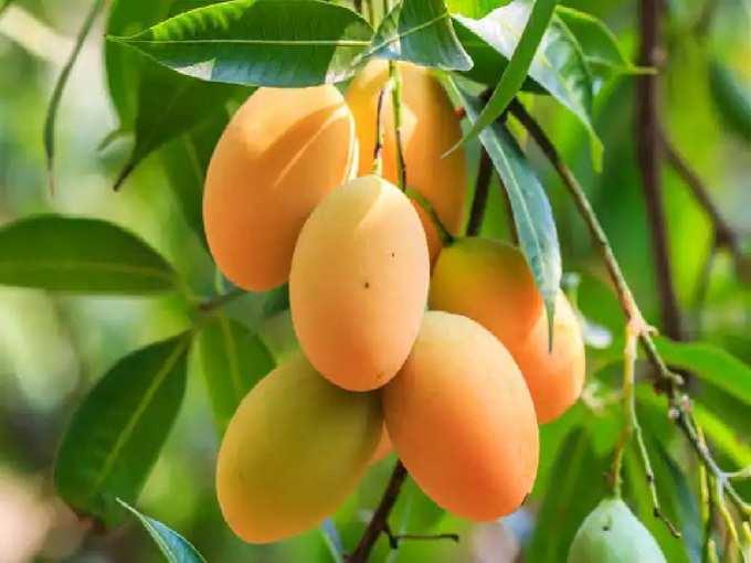 Bihar News: Modi Mango burns amidst the sweetness of Jardalu mango in Bhagalpur, know its merits