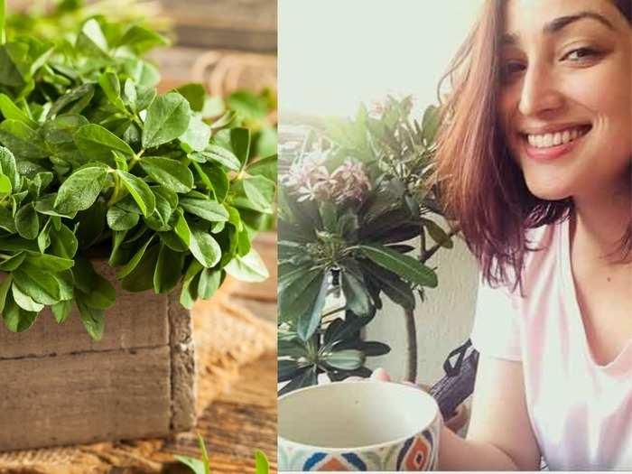 benefits of fenugreek leaves or methi leaves tea how to make it at home