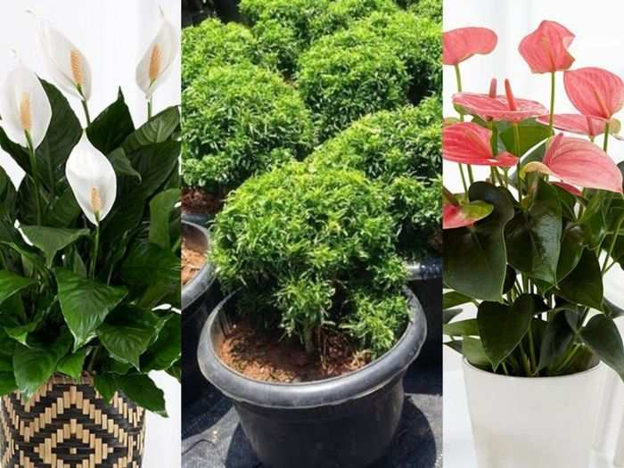 6 best indoor plants purifies the air and good for breathing know which plant gives 24 hours oxygen