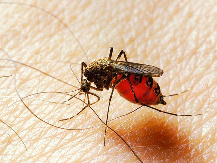 mosquito_getty