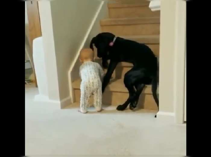 Dog Stops Toddler From Climbing