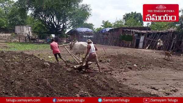 farmers son plowing field with replacing a bull after it dies in adilabad district