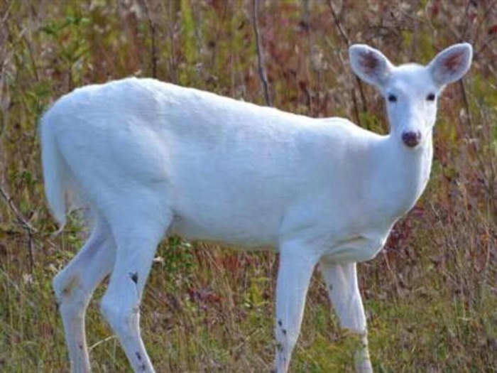 सफेद हिरण (फोटो-साभार)