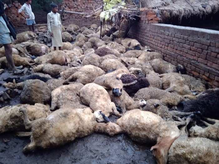 कुत्ते के हमले से बचने के लिए एक-दूसरे पर चढ़ गईं भेड़ें, दम घुटने से सौ की मौत