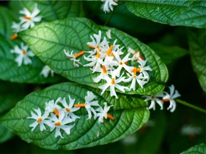 from fever to arthritis asthma parijat leaves is the cure for all your ailments