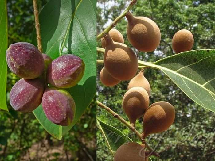 baheda uses in many ayurvedic medicines and terminalia bellirica helpful for dosage know its other health benefits