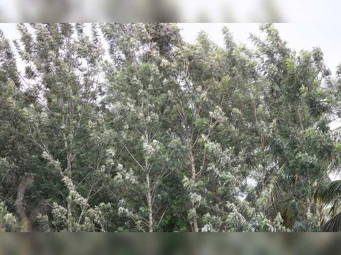 kodagu silver tree