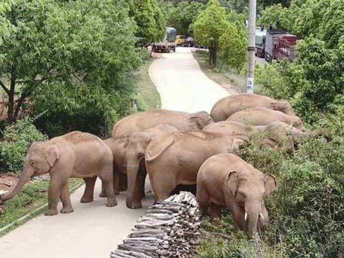 china elephant
