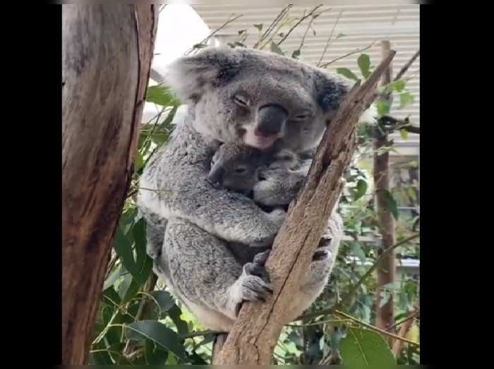 mother koala
