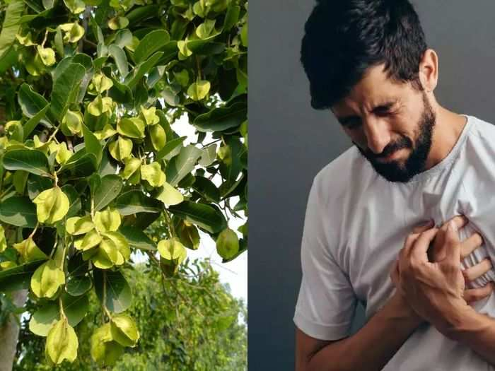 terminalia arjuna is good for heart disease or weight loss as per ayurveda and know its health benefits