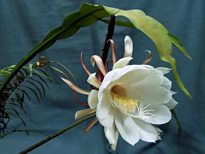 health benefits of brahma kamal flower as per science and excellent liver tonic