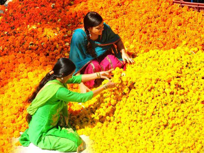 genda fool farming: how to do genda fool farming in india which is used for decoration and also for medicine purpose