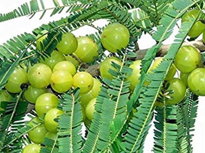 business idea: how to do amla farming which will give earning lifetime, here are some tips to increase income
