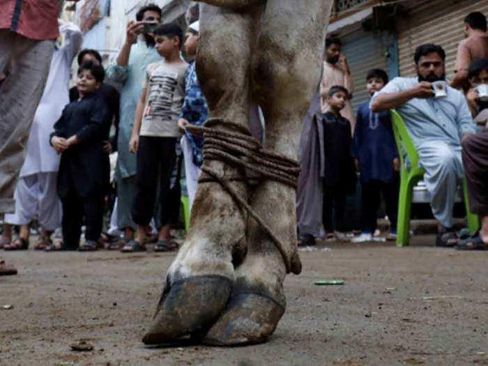 Pakistanis sacrificed cow