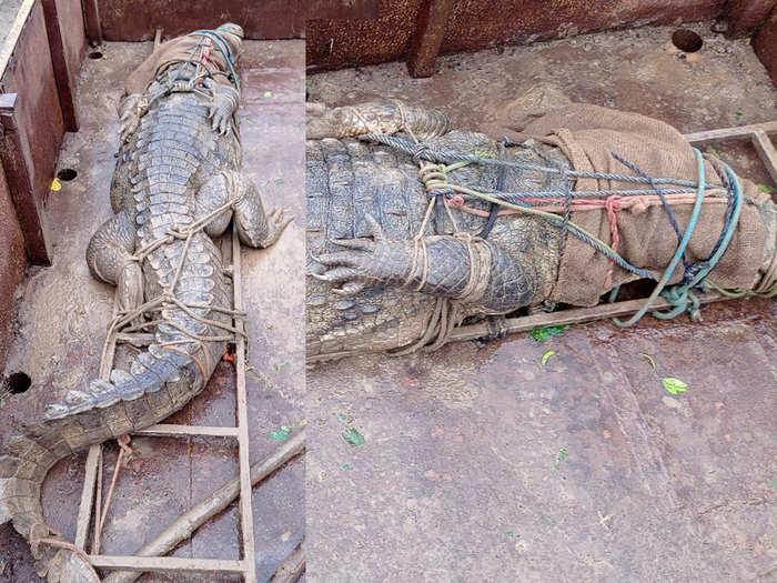 crocodil-in-sangli