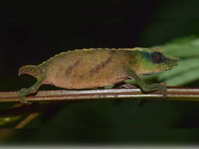 Rare Chameleons