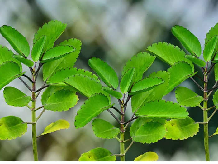 kalanchoe pinnata good for kidney stones and know amazing health benefits of patharchatta