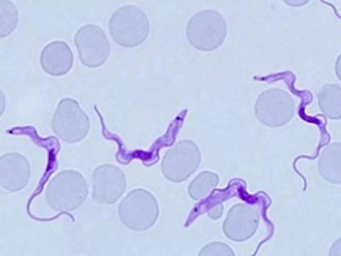 Trypanosoma brucei CDC