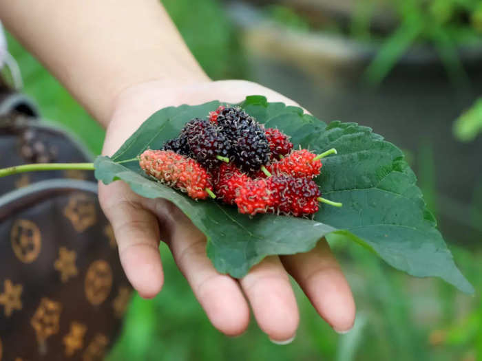 people with diabetes heart problem can easily eat mulberry shahtoot leaves its rich in calcium and iron