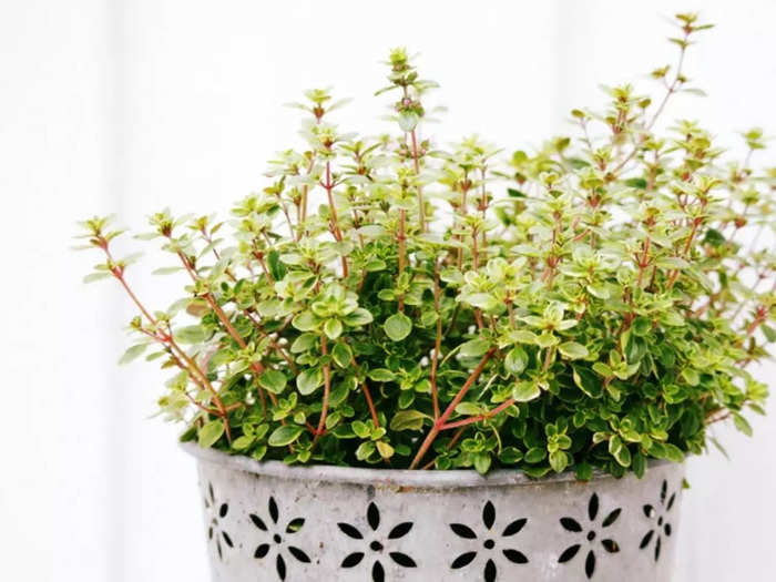 amazing health benefits of thyme plant and this herb has many medicinal qualities