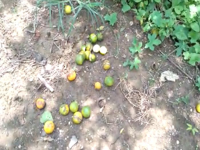 amravati oranges