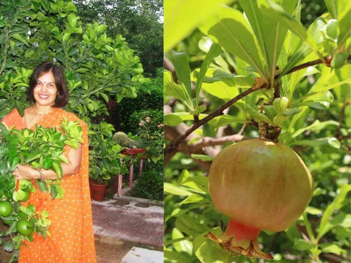 : amazing health benefits of pomegranate tree leaves as per expert and know how to use