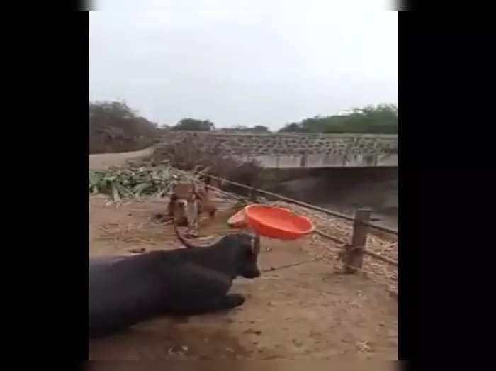 Buffalo Viral Video