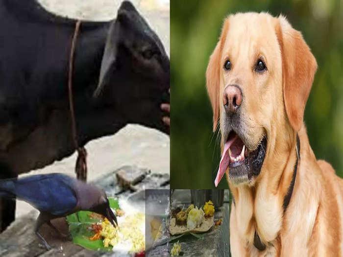 कावळे, कुत्रे आणि गायींना श्राद्ध अन्न का दिले जाते? पितृपक्षात पंचबलीचे काय महत्त्व,वाचा