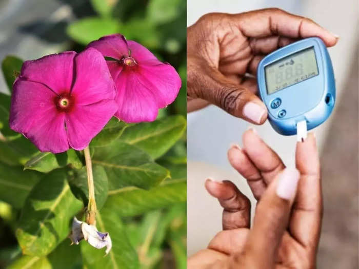 sadabahar flower leaves can be used to control blood sugar level in type 2 diabetes