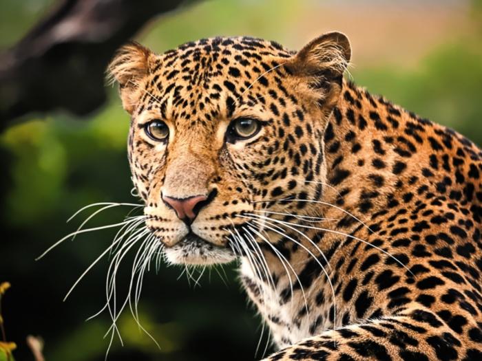 leopard attack in maharashtra