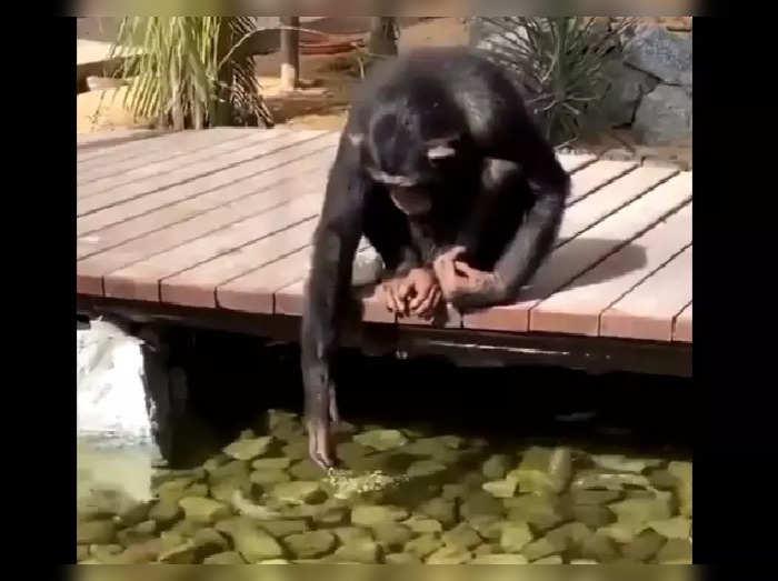 Chimpanzee Imitating Human