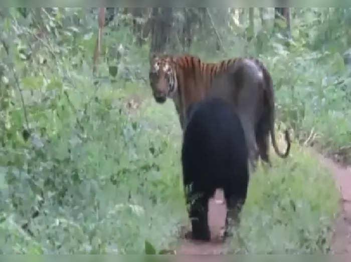 tiger and bear